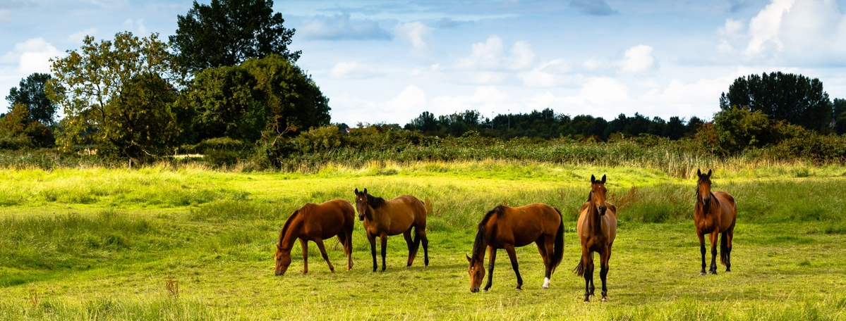 paarden in wei